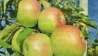 Характеристики и описание крымских сортов яблок синап орловский, кандиль и горный