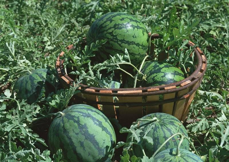 Выращивание арбузов на урале в теплице: тонкости, советы, лучшие сорта