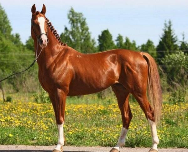 Тракененская лошадь: характеристика породы - общая информация - 2020