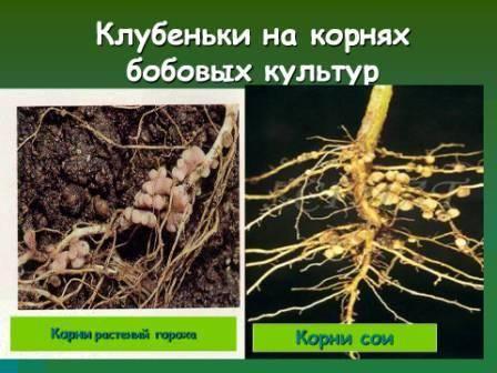 Сорта бобов: классификация и описание