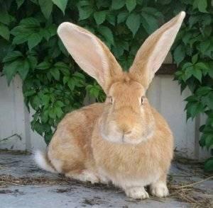 Кролик баран: описание породы, фото, виды, уход и содержание, отзывы