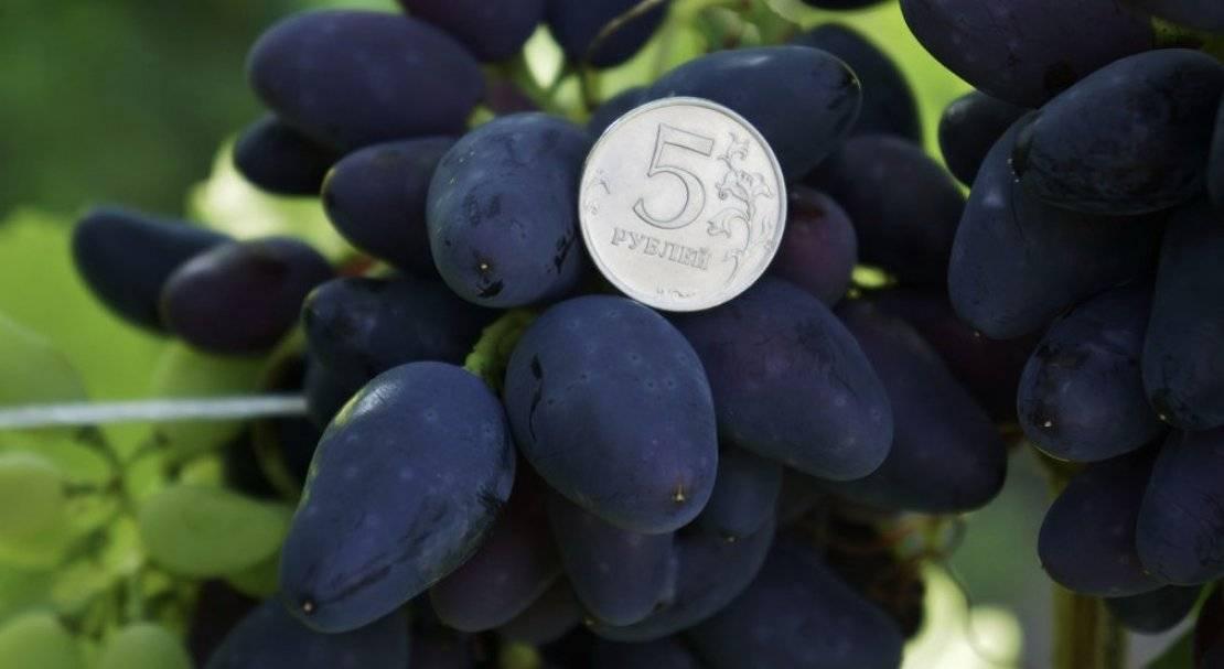 Отзывы о винограде - викинг: фото и описание сорта
