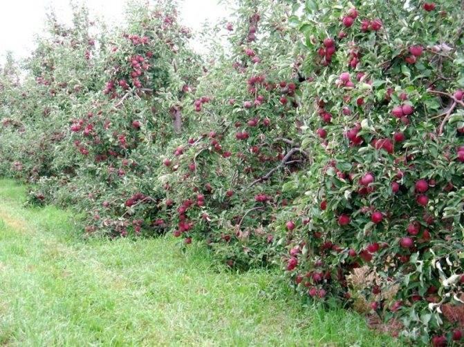 Как определить оптимальное расстояние между яблонями при посадке