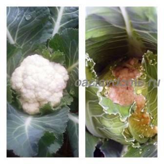 Практические рекомендации по подкормке капусты после посадки в открытый грунт
