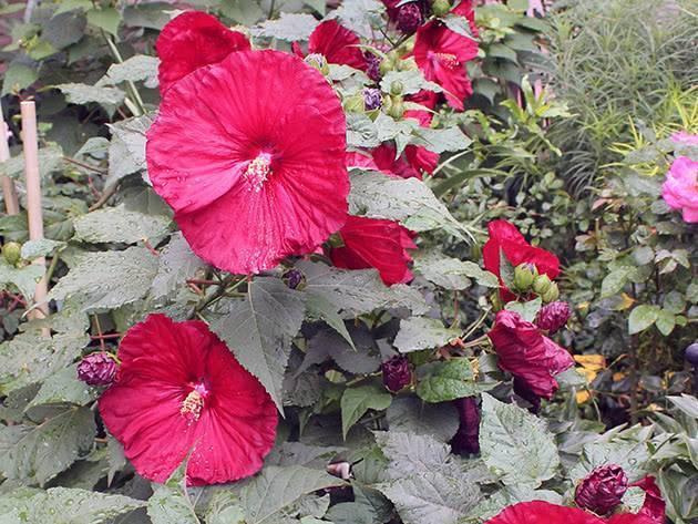 Гибискус садовый — популярные сорта и уход за растением