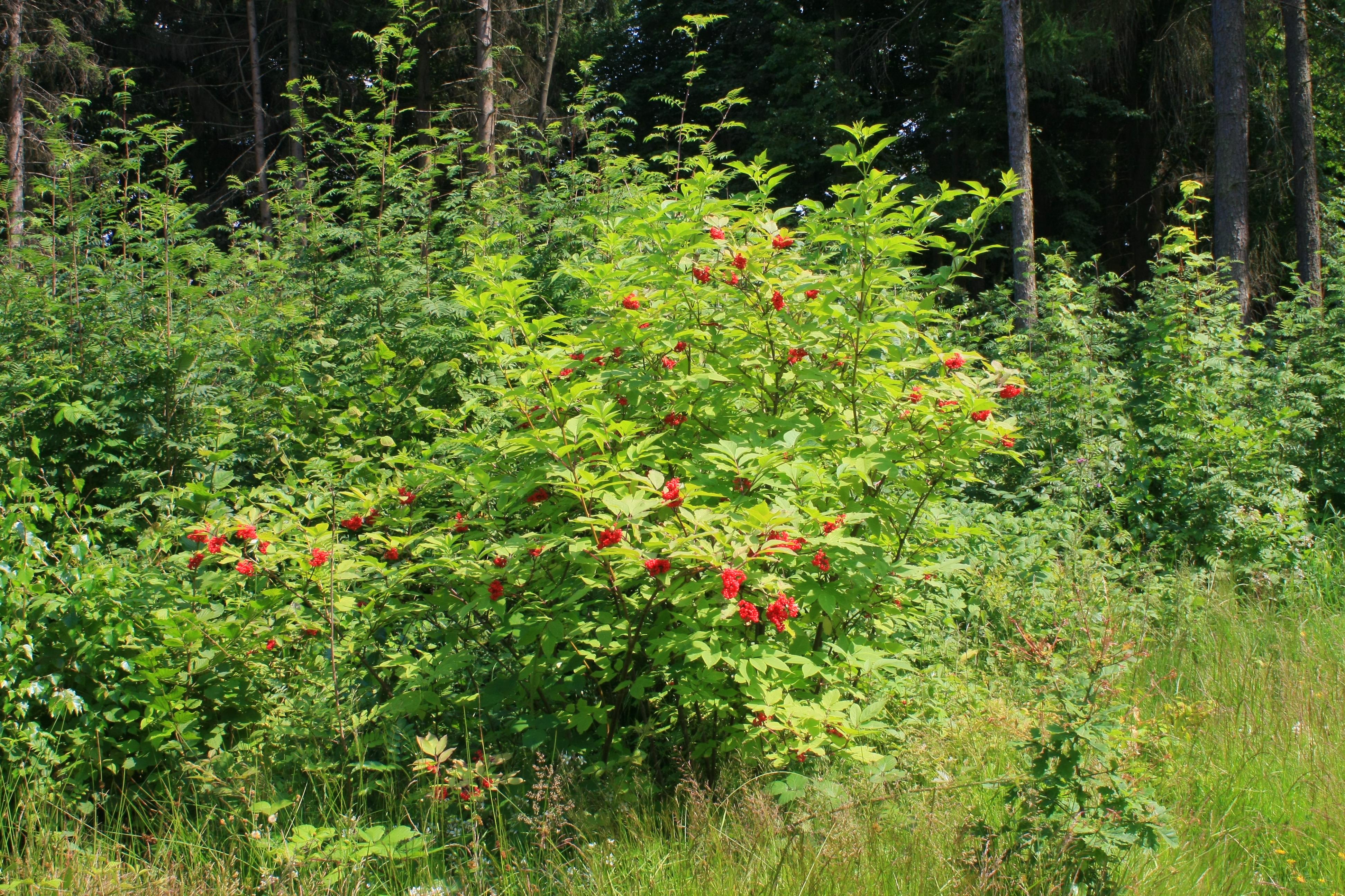 Бузина: фото и описание кустарника