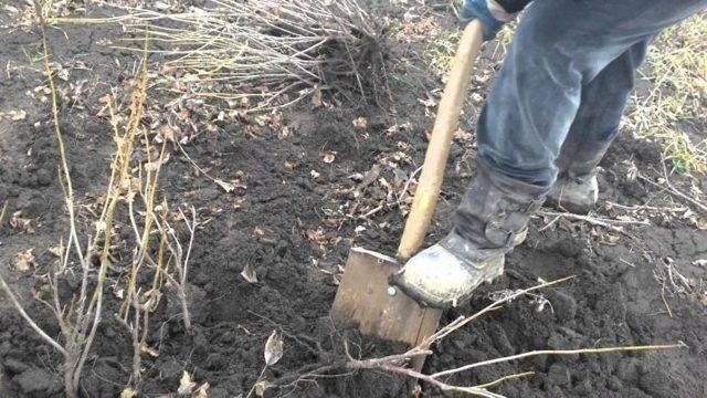 Пересадка смородины осенью или весной: практические советы опытных садоводов