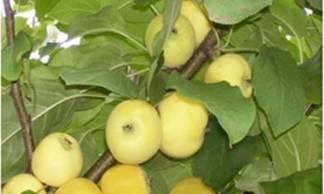 О яблоне Кроха: описание сорта, характеристики, агротехника, выращивание
