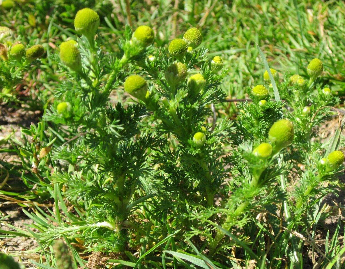 Ромашка пахучая безъязычковая. ромашка: лечебные свойства и противопоказания