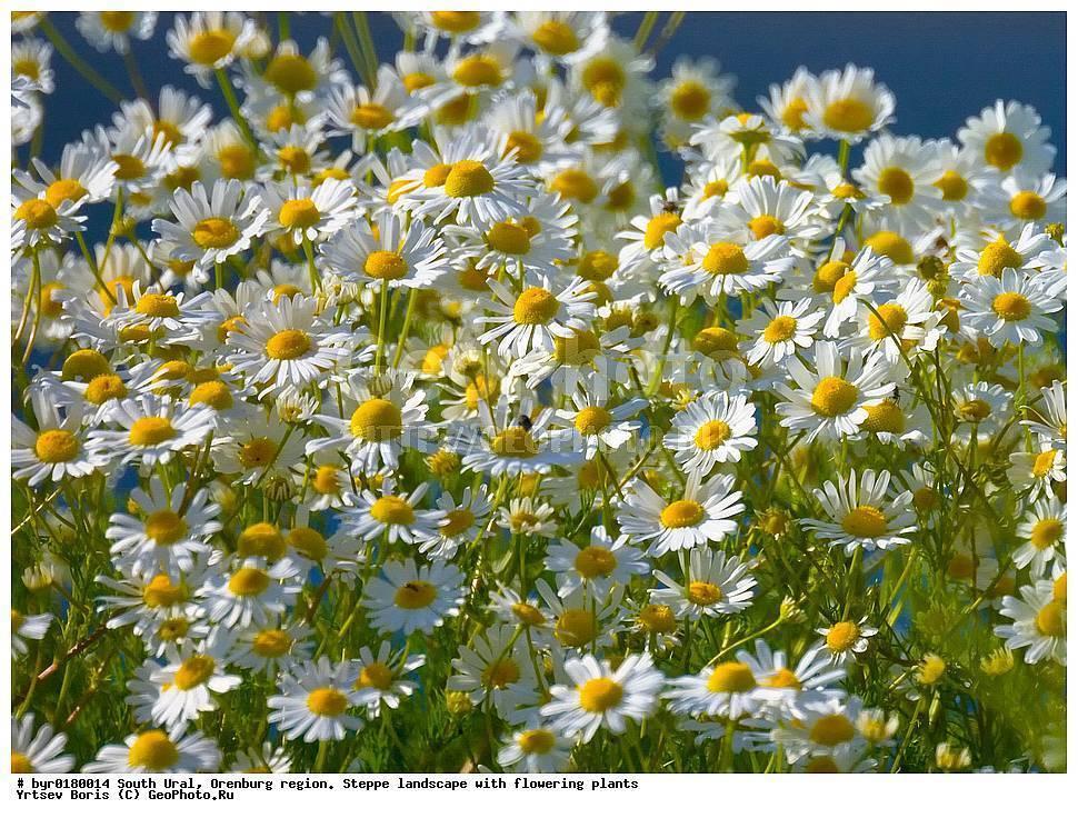 Растения ромашка аптечная и пахучая: фото, описание, лечебные свойства и применение в народной медицине