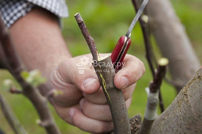 Как привить грушу – советы начинающим садоводам