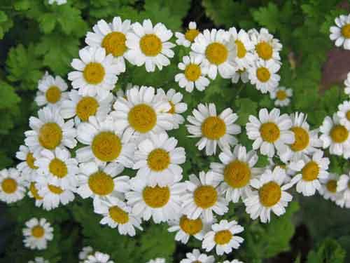 Растение пиретрум: описание, виды, использование