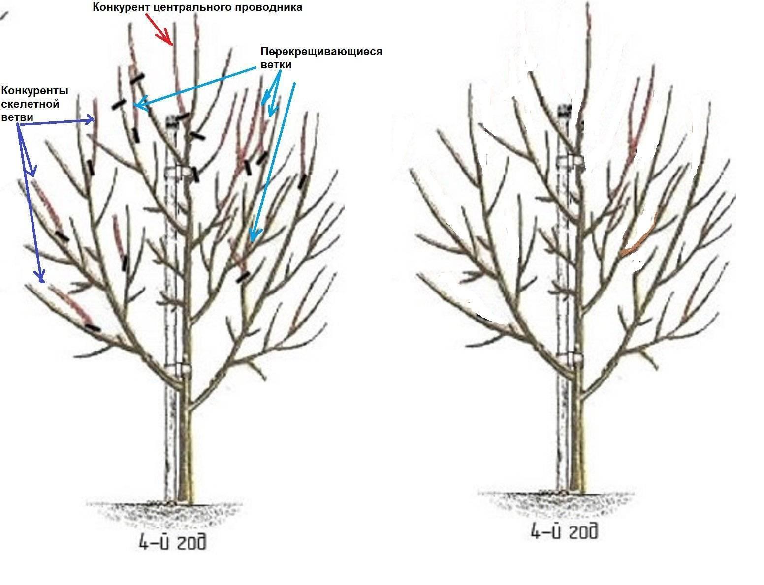 Как правильно обрезать колоновидные груши осенью: руководство для начинающих