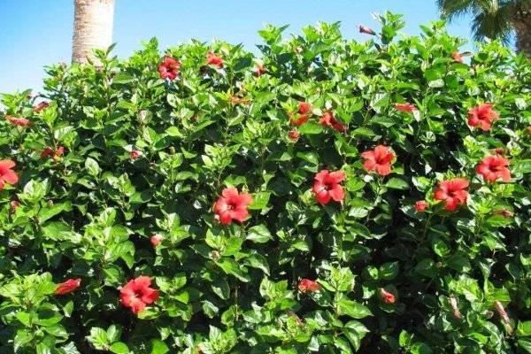Чай из цветов гибискуса: полезные свойства и вред
