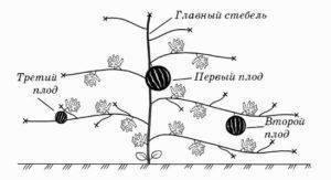 Все о выращивании дыни в теплице: посадка и уход в условиях Подмосковья
