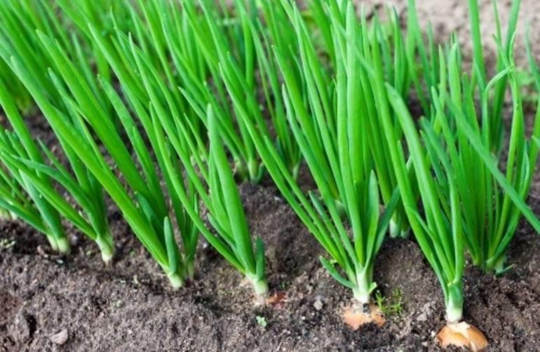 Репчатый лук, выращенный из чернушки, — рассадой, весенним и подзимним посевом