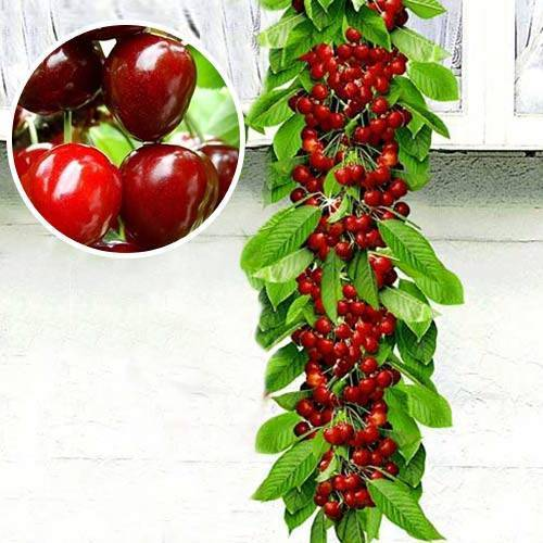 Особенности выращивания колоновидной черешни и правила ухода за ней