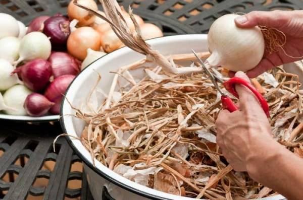 Нужно ли обрезать лук перед посадкой весной?