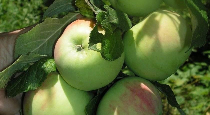 Отличный сорт для московской области — яблони сорта десертный петрова