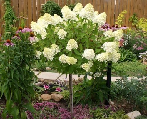 Как посадить и вырастить штамбовую гортензию: уход и выращивание своими руками