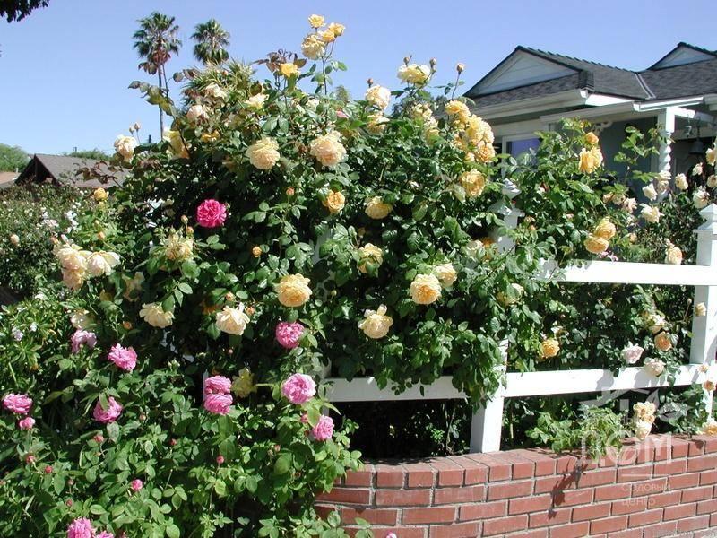 Роза голден селебрейшен: царственная аристократичность махровых бутонов