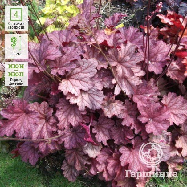 Гейхера: посадка и уход - инструкция для садоводов