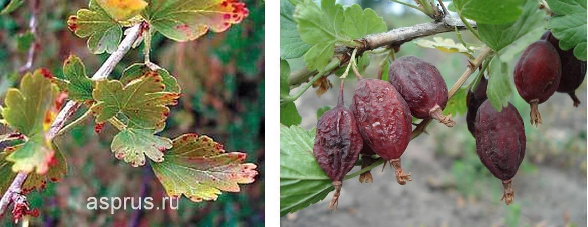 Чем обработать крыжовник весной от болезней и вредителей