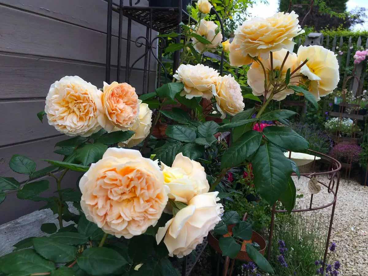 Комнатная роза - уход в домашних условиях, простые правила успешного выращивания