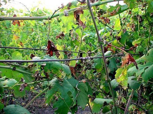 Оидиум (настоящая мучнистая роса) болезнь винограда