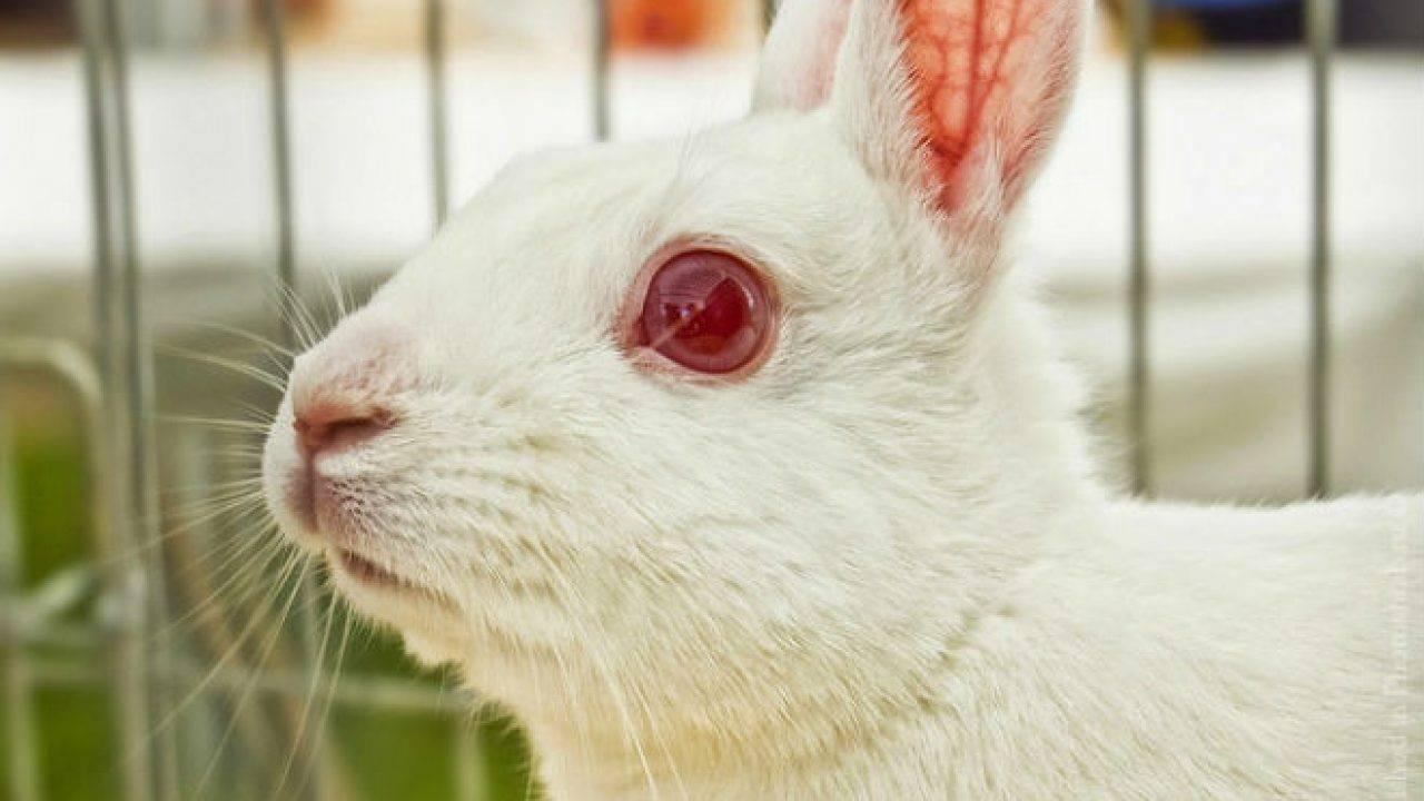 Почему у кролика могут слезиться глаза