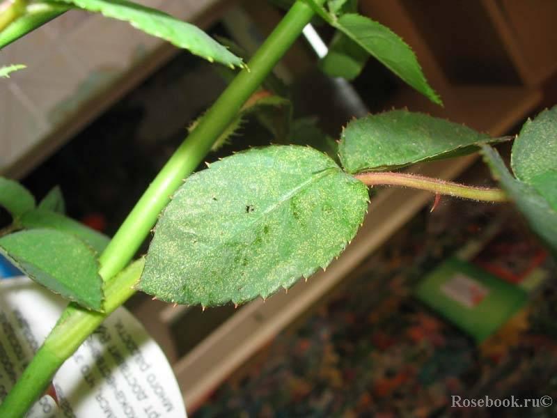 Чем обработать цветы от зеленых гусениц на розах: что делать, как избавиться