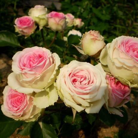 О розе mary ann: описание и характеристики сортовой культуры