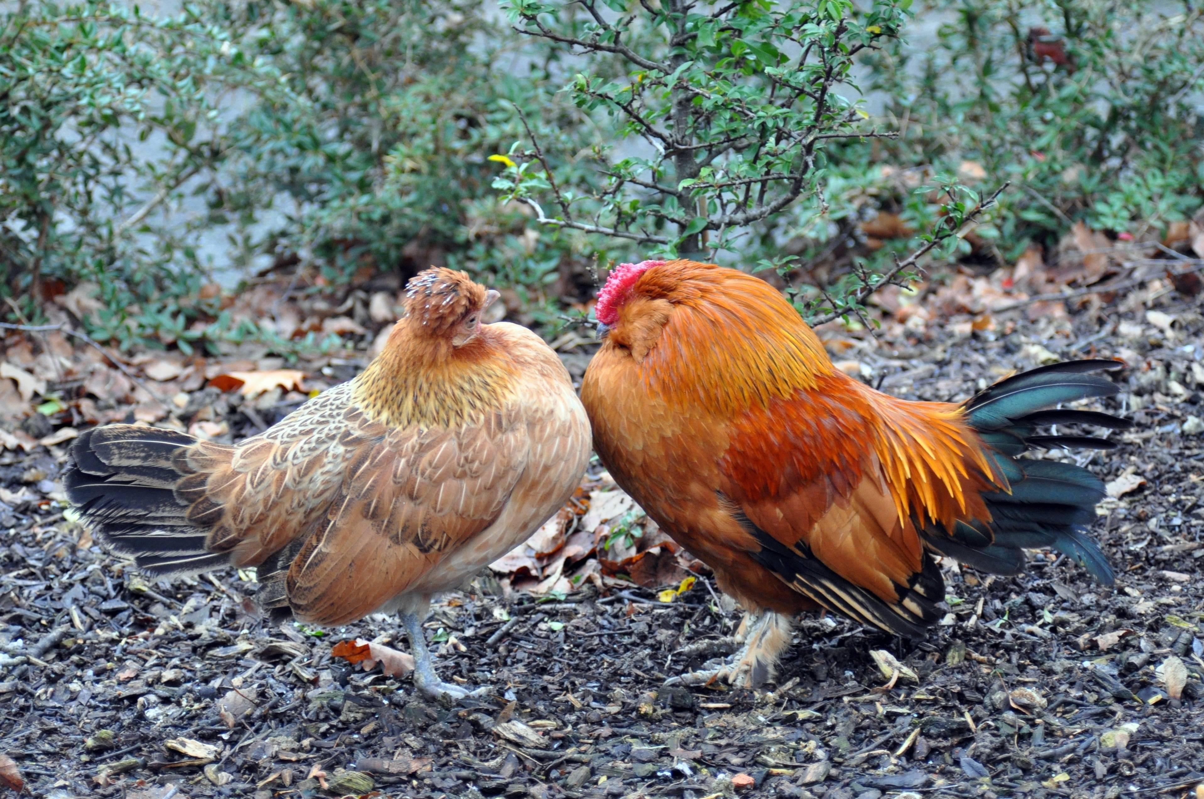 Дикие куры в природе — разновидности кур и их описание, фото