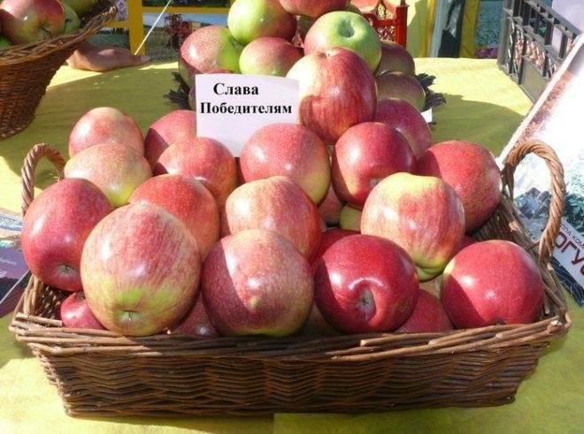 О яблоне солнышко: описание сорта, характеристики, агротехника, выращивание