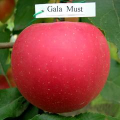 Гала (яблоко) - gala (apple)