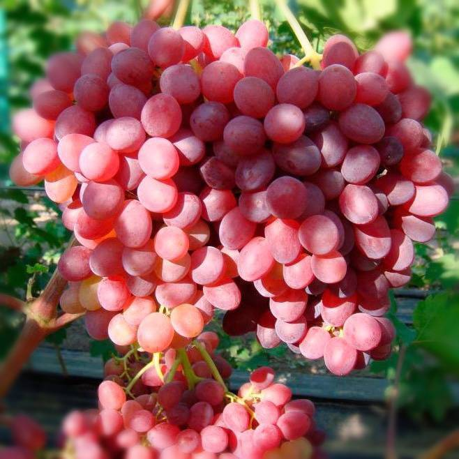 Красивый виноград с наливными ягодами — сорт софия