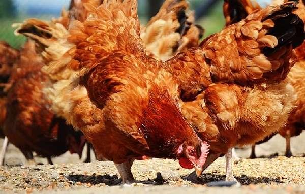 Составляем правильное меню и рацион питания кур-несушек