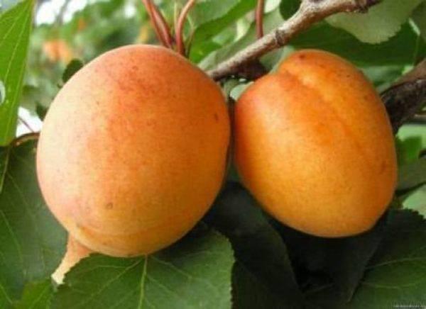 Описание медового абрикоса
