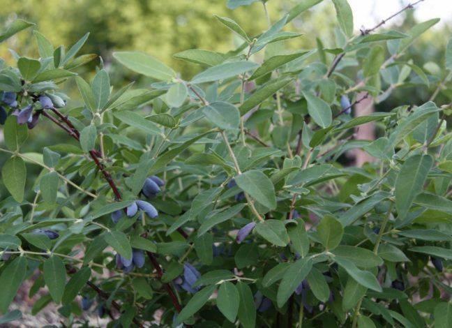 Жимолость голубое веретено