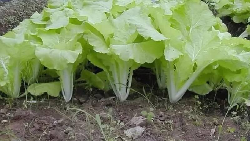 Как вырастить пекинскую капусту семенами: способы, посадка, уход, болезни и вредители
