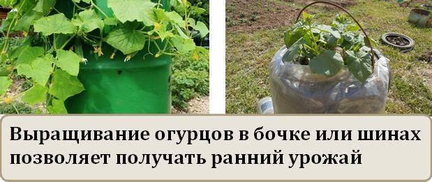Выращивание огурцов: особенности посадки и ухода