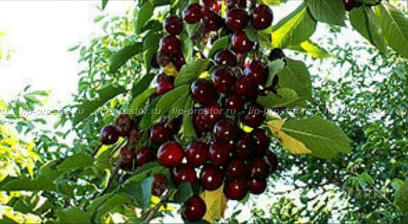 Описание черешни сорта «ленинградская чёрная»: характеристики, фото, отзывы садоводов