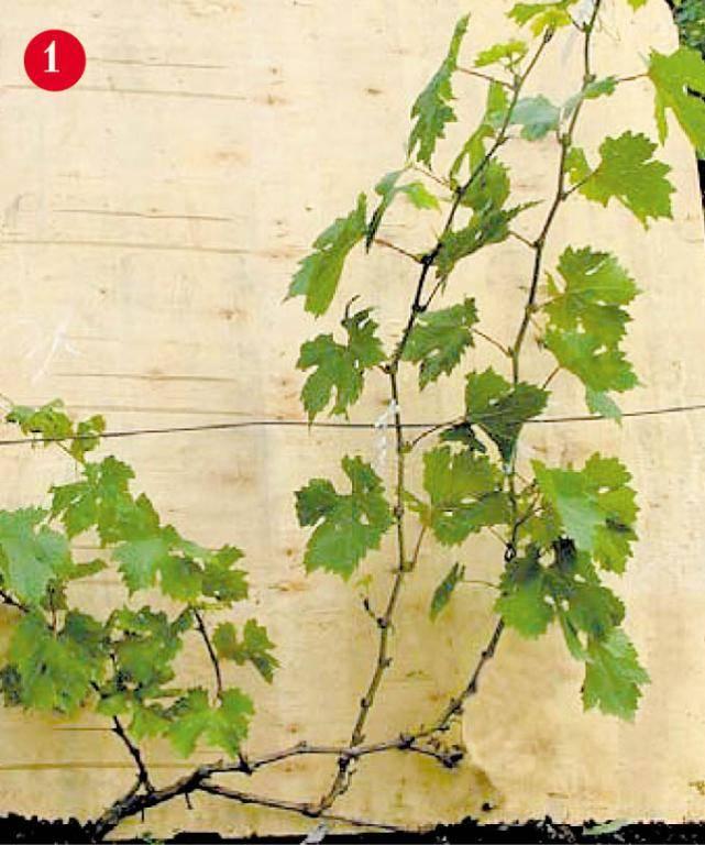 Почему осыпается завязь винограда? почему не плодоносит виноград опадает виноград.