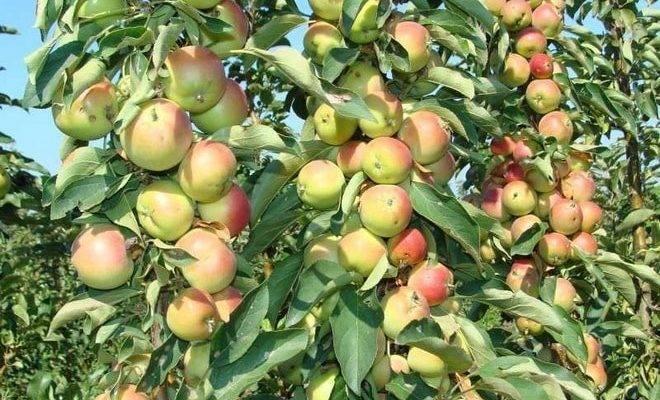Яблоня и её виды