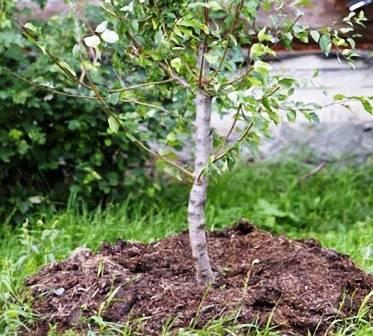 Как ухаживать за яблоней весной, летом и осенью? посадка, обрезка и уход за яблонями