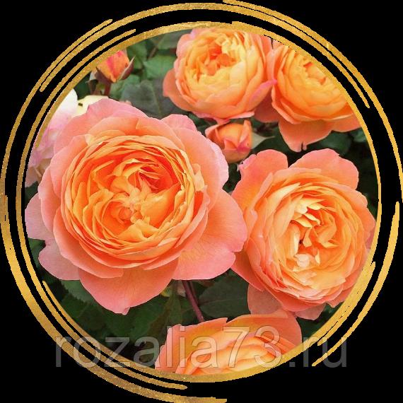 Роза леди эмма гамильтон описание. розы для сада – описание, виды и сорта, фото. уход за садовой розой леди эмми