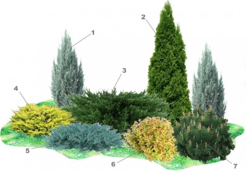 О можжевельнике Лайм Глоу: описание сорта, как посадить и ухаживать