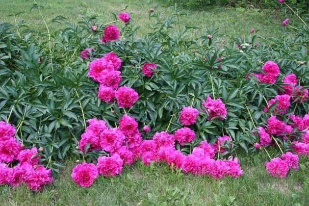 Почему не цветут пионы и что делать сейчас, чтобы на следующий год зацвели