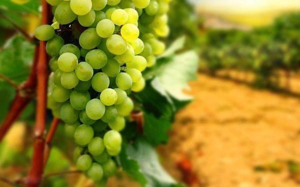 Топаз фунгицид, инструкция по применению для винограда, свойства и состав