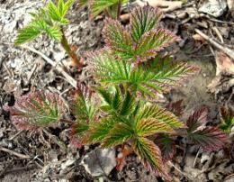 Как вырастить и размножить малину обыкновенную из черенков, корневой поросли?